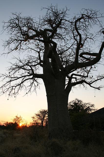 Kopfüberbaum - Baobab